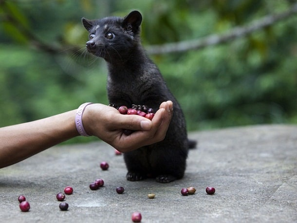 Civet coffee, also known as kopi luwak or cat poop coffee, is known to be some of the tastiest and the healthiest coffee in the world.