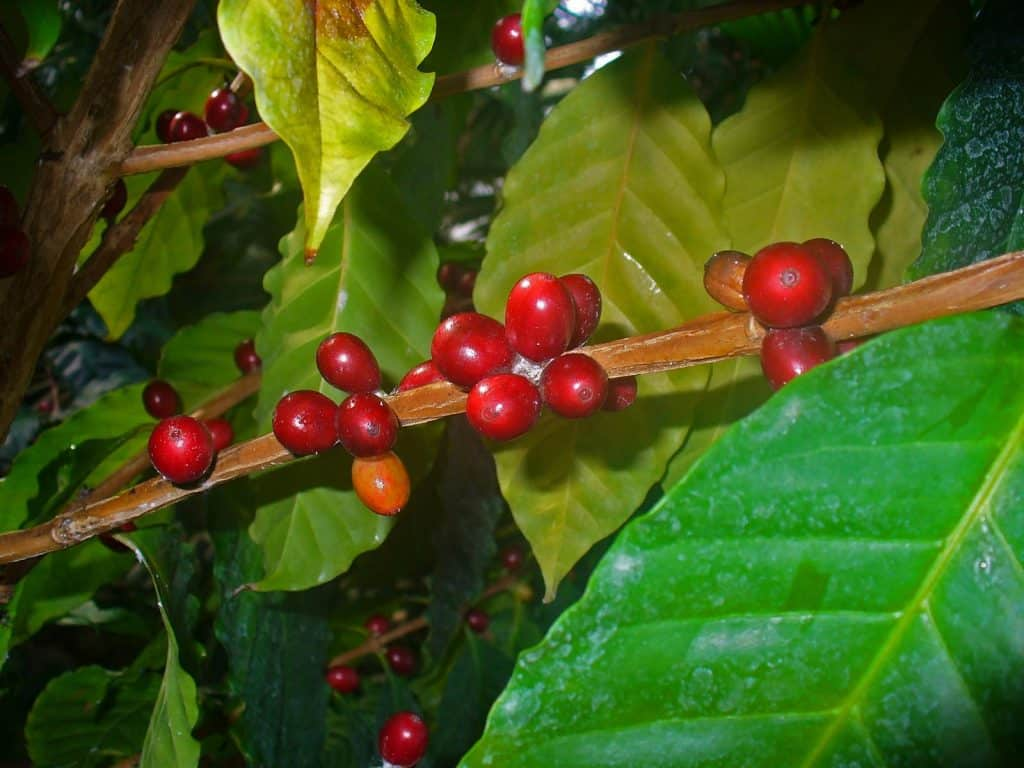 Coffea Arabica cherries. Photo: H. Zell.