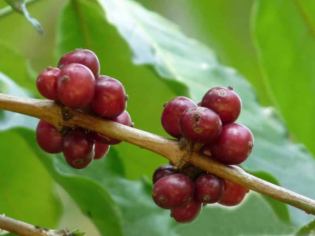 Coffea Canephora cherries. Photo: Jee & Rani Nature Photography.