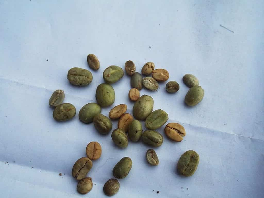 Green Arabica beans. Photo: Yercaud Elango.