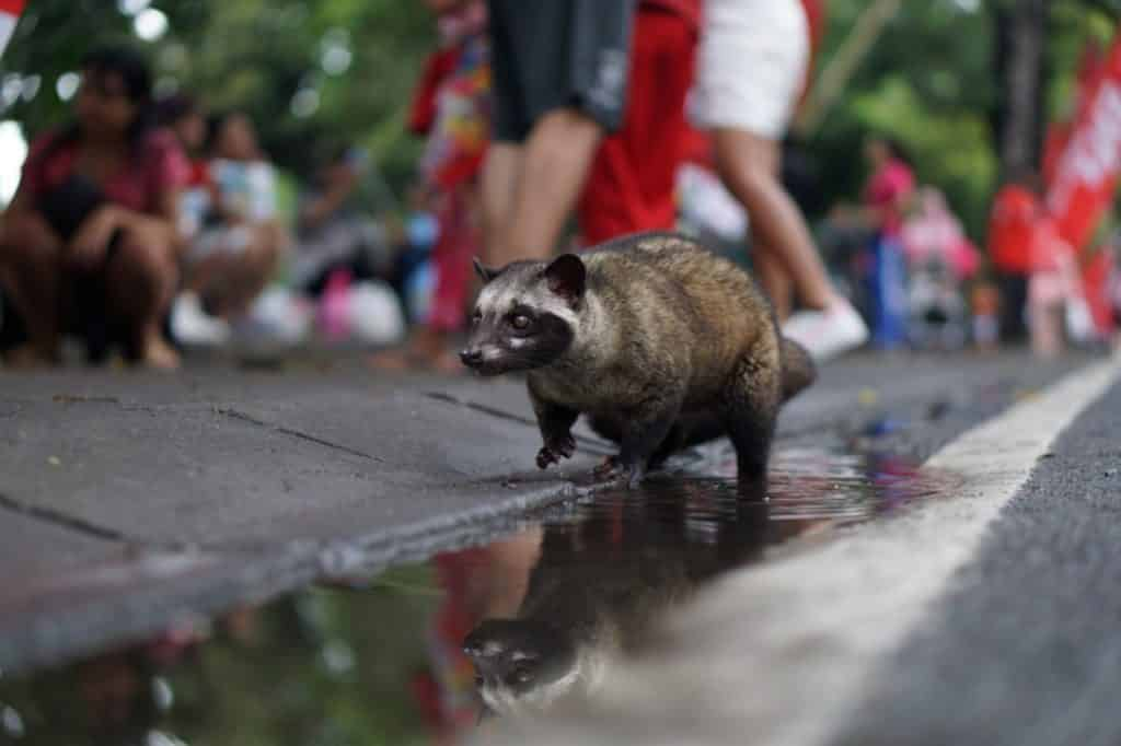 Civet coffee is made from beans digested and defecated by the Asian palm civet cat.